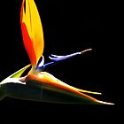Strelitzia in Isolation by Noel Elliot