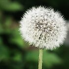 Dandelion by kflanary