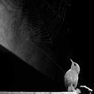 Wren 'n' Web by Anthony Thomas