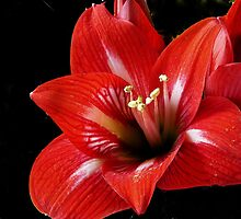 Red Amaryllis by sstarlightss