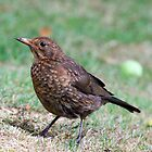 Juvenile Blackbird by kitlew