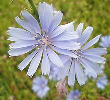 Chicory Wildflower - Cichorium intybus L.  by MotherNature
