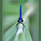 Blue dragonfly by Neutro