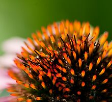 Echinacea Close Up by Gary Chapple