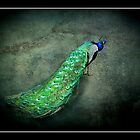 Peacock by missmoneypenny