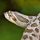 Hognose by Reg1