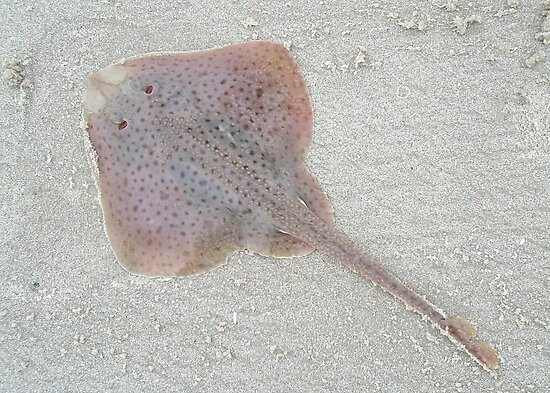 Little Skate - Leucoraja erinacea by MotherNature