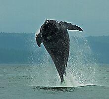 Humpback Whale Calf Breaching, Juneau Alaska by JMChown