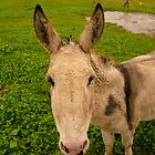 Donkey Face - Castle Marter, Ireland by Jenny Hambleton