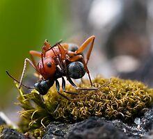 Ant Wars by David Friederich