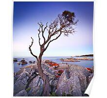 Binalong Bay Tree, Binalong Bay, Tasmania Poster