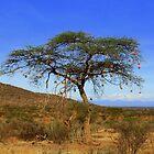 Africa Continues - Acacia Tree by Sally Haldane
