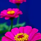 Gorgeous Zinnia by Neha  Gupta