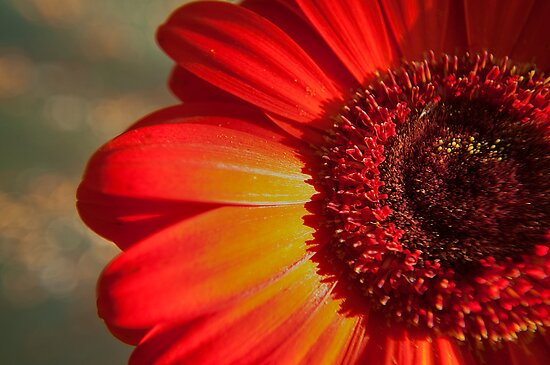 Red Gerbera in the afternoon light by Jaxybelle