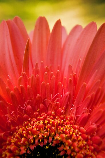 Pink Gerbera in the garden by Jaxybelle