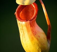 "Nepenthes ""jungle bells"" by Adele Nash"