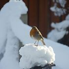 Robin in Winter by dgscotland