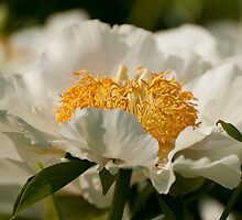 Peony - Ottawa, Ontario by Tracey  Dryka