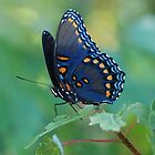 Blue Butterfly by Barbara Anderson
