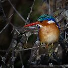 Malachite Kingfisher by Michael  Moss
