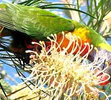 Rainbow Lorikeet in the Grevillea by Nicki Baker