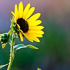Sunflower Waiting For New Day by Ken  Hurst