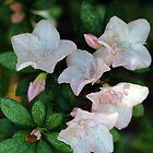 Pink Azalea by -aimslo-