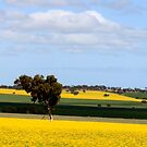 The Canola Fields (2) by Ali Brown
