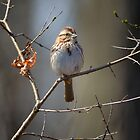 Spring Song Sparrow by Heather Pickard