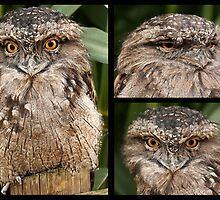 Tawny Frogmouth Collection by Mark Hughes