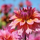 Sunset colors Dahlia by Kerry McQuaid