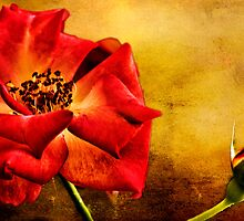 Аленький цветочек ( Scarlet Flower) by LudaNayvelt