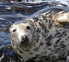 A Grey Seal (Halichoerus grypus) basking on rocks by Chris Monks