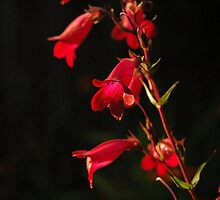 Penstemon #1 by Michael Townsend