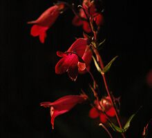 Penstemon #2 by Michael Townsend