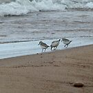 Sandpipers by jrier