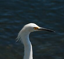 Snowy Egret by photojeanic