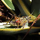Lubber grasshopper by Irina777