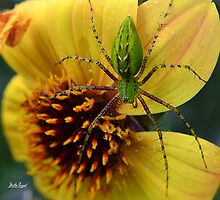 Green Lynx Spider by Mattie Bryant