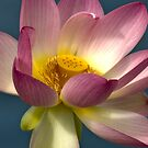 Lotus Crescent by Polly Greathouse