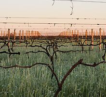 Warrabilla Wines - Parola's Winter Vines by Georgina James