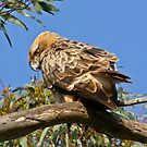 Little Eagle( Hieraaetus morphoides) by Rick Playle