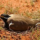 Banded Lapwing,Menzies. West Australia by robynart