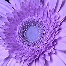 My Gerbera's Turned Purple by hummingbirds
