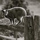 Grey Farm Cat by Jennifer P. Zduniak