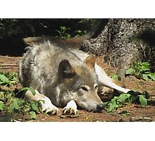 Timber Wolf Chilling Out Photographic Print