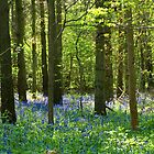 bluebell forest by Pixie Copley LRPS