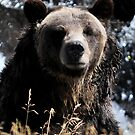 Yellowstone 2011- Grizzly Bear by Dennis Stewart