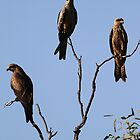 black kite trio by birdpics