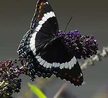 White Admiral by RoyceRocks